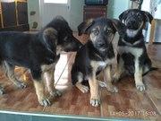 3-х месячные щенки восточно-европейской овчарки