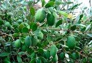 Фейхоа-небольшой вечнозеленый кустарник,  деревце до 3х метров. Неповто