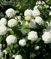 Гортензия древовидная Стронг Анобель - шикарное растение с очень крупн