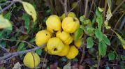 Айва японская-кустарник листопадный.Ветви растения покрыты изумрудными