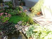 Ситник- уличное растение растет около водоемов, украшает садовые клумбы