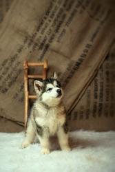Аляскинского маламута (домашний волк) в Ташкенте