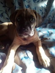 Продается щенок бульмастиф девочка два месяца