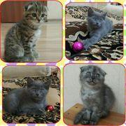 Породистые котята ( скоттиш фолд и страйт) г. Ташкент.